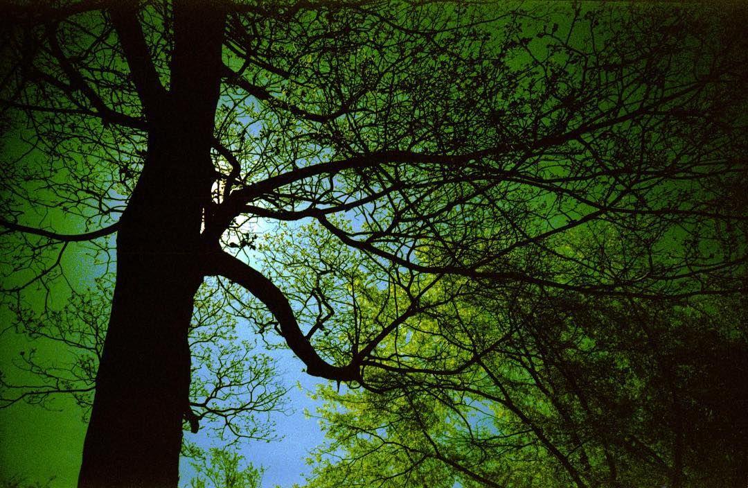 The trees (1/3) #LCA  Agfa CTPrecisa #xpro #Lomography #filmphotography #trees #triptych #green  Please visit http://bit.ly/adg_lomo for more analog love  #resourcemag #filmphotographic #heyfsc #thefilmcommunity #BelieveInFilm #IShootFilm #TodaviaDisparoEnAnalogico #helloCFPG  @lomography @lomographicsociety @filmshooterscollective @art.film @whattaroll @analoguevibes @hylasmagazine @flakphoto