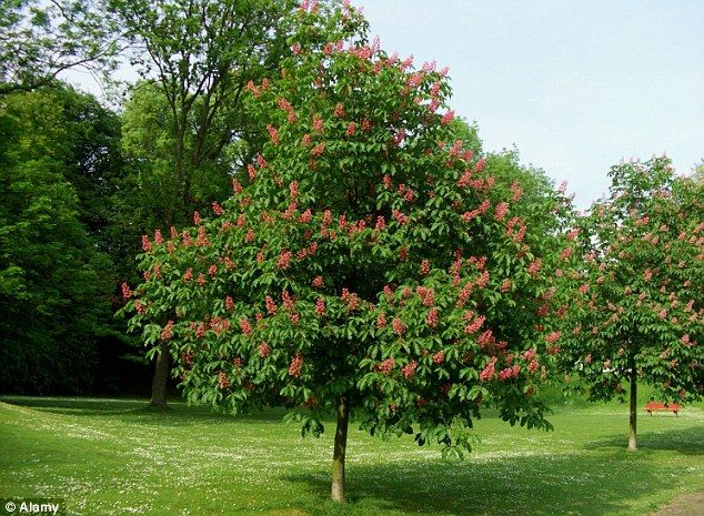 The end of the conker scientists say the glorious horse chestnut red horse chestnut tree according to the forestry commission survey in 2007 nearly half mightylinksfo Gallery