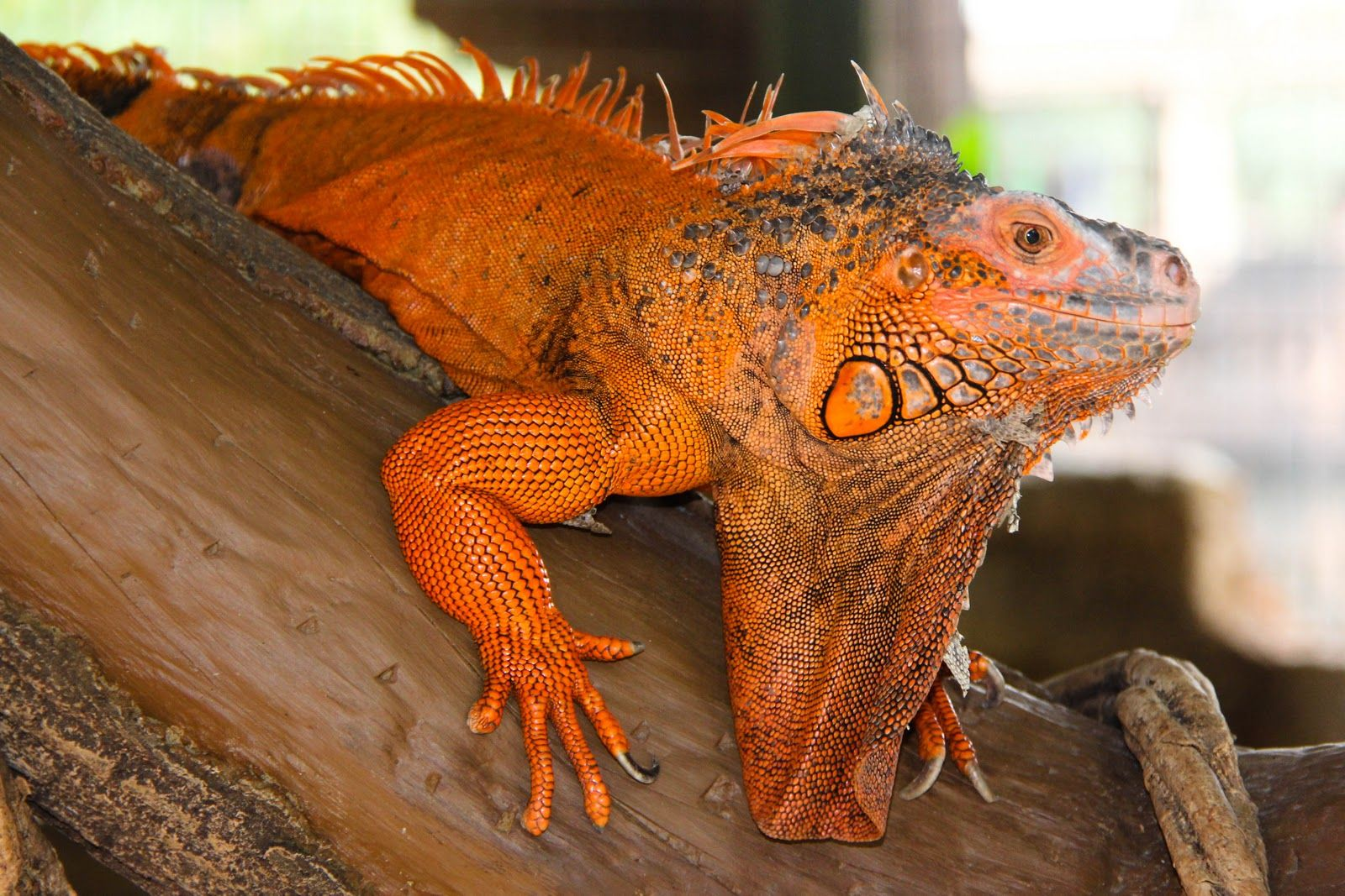 Adult male red iguana | Reptiles I Want REALLY BAD ...