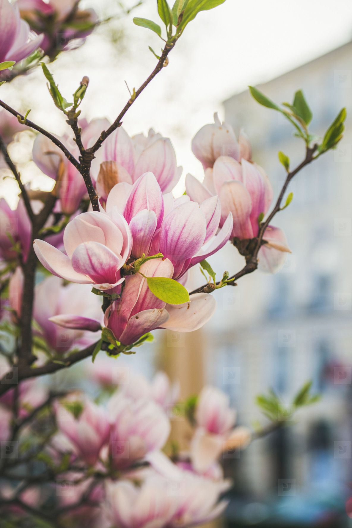 Blooming Magnolia Tree With Flowers Wedding Cake Magnolia Trees