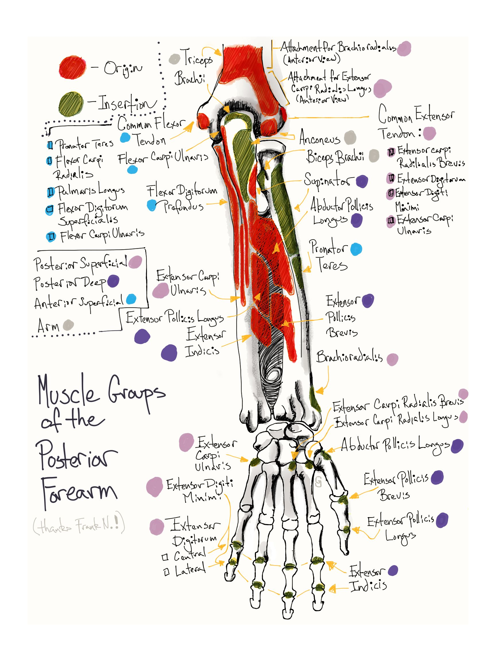 Mnemonics For Muscles Of Forearm Forearm Muscle Mnemonics – Anatomy ...