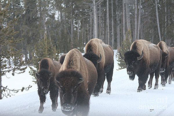 Nature Print featuring the photograph Yellowstone Buffalo Herd by Bill Hayes