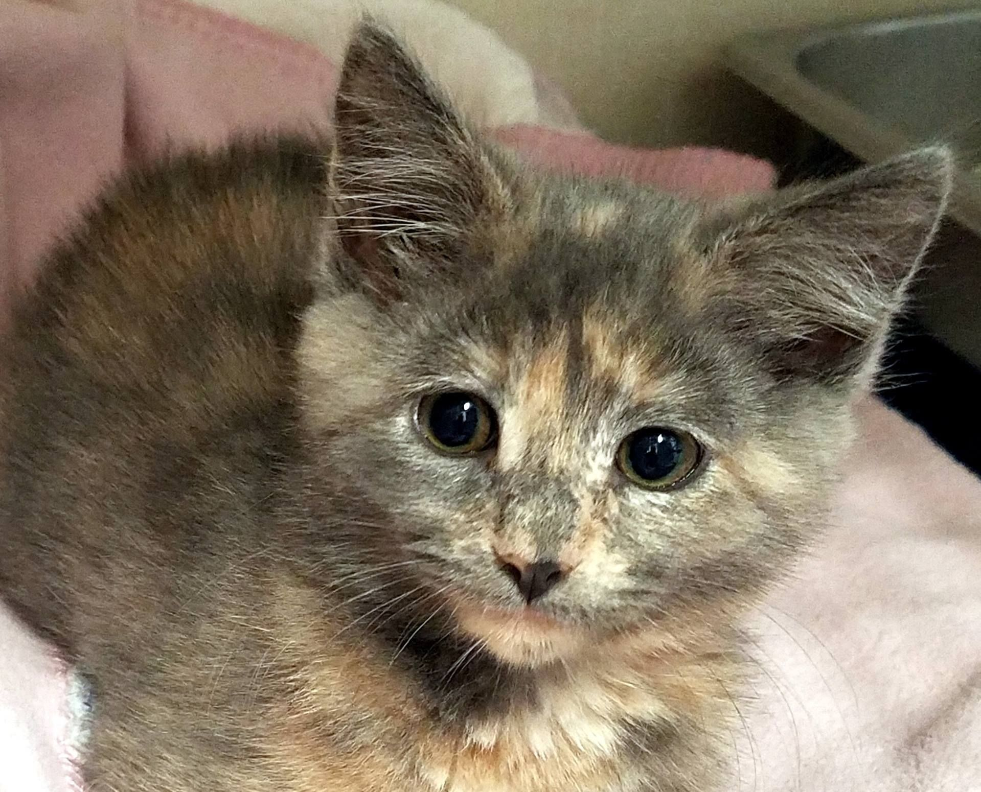 Adopt Spicy and Stripe Kitten pair on Cat adoption