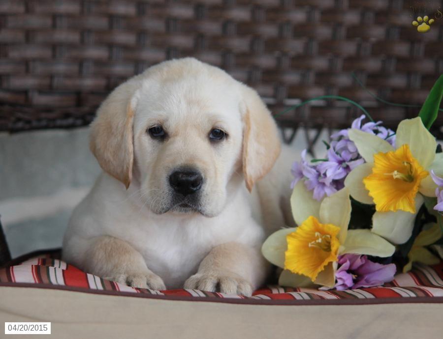 Labrador Retriever Puppy for Sale in Pennsylvania