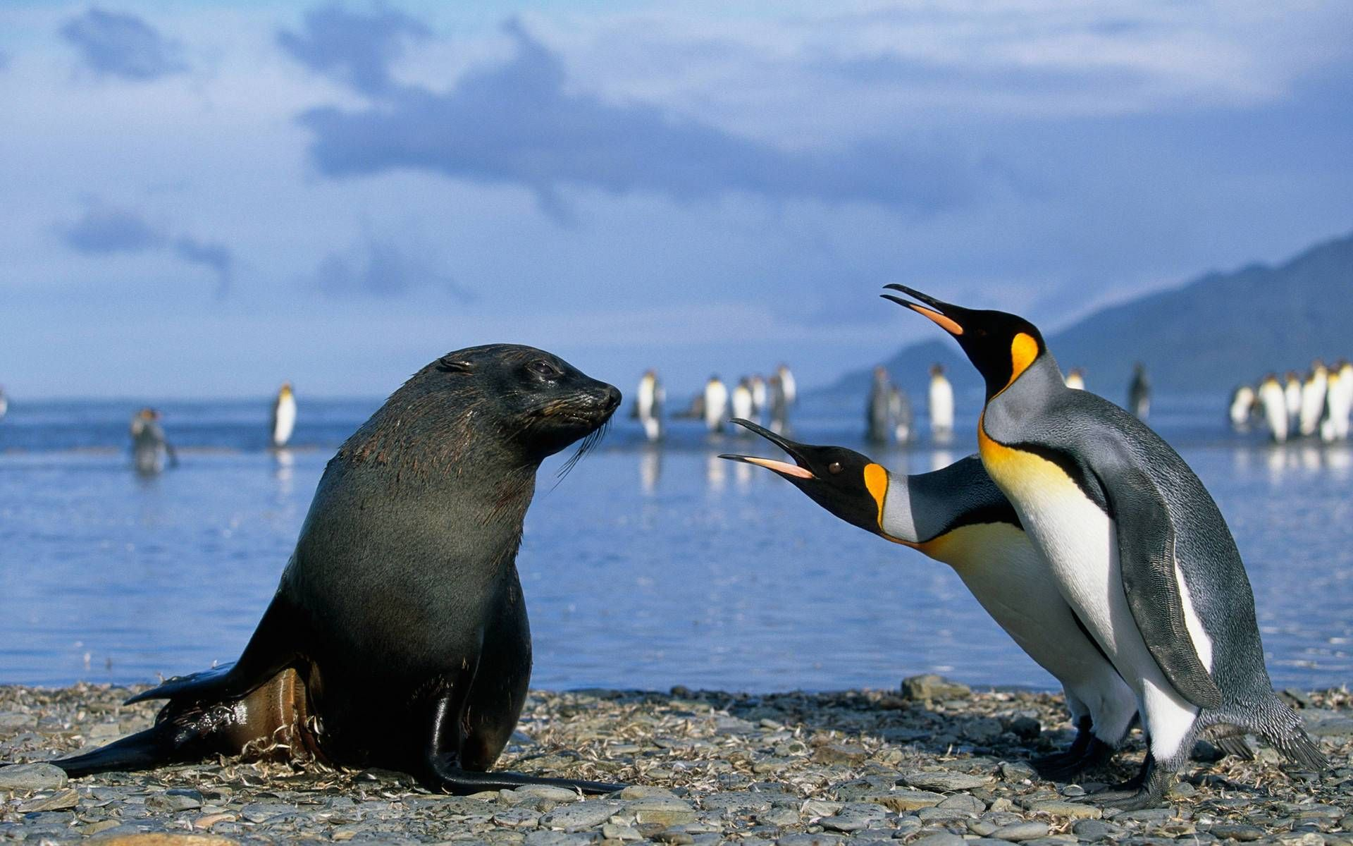 Seal baby and Penguins wide screen wallpaper