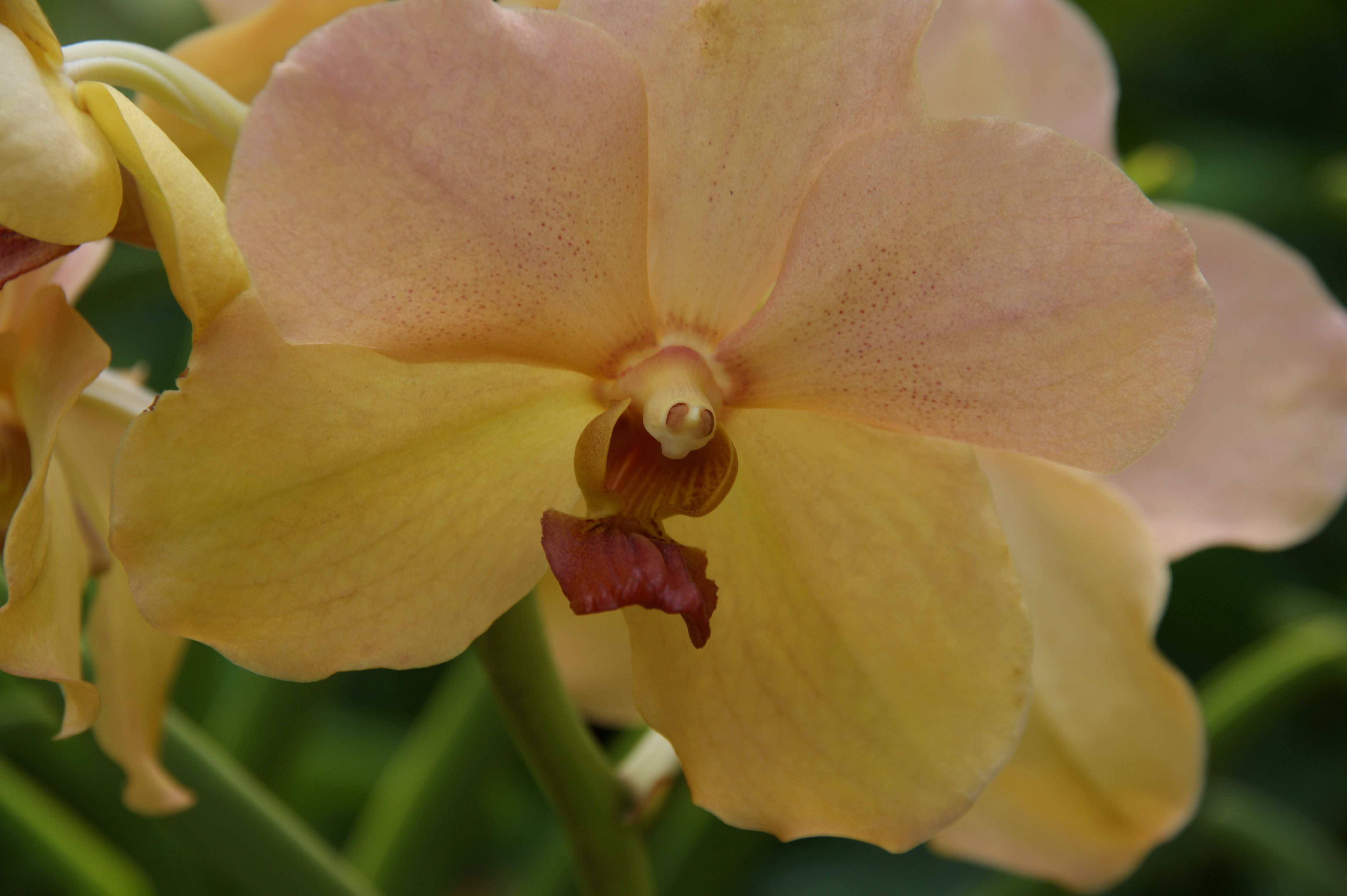 Yellow orchid in the national orchid garden singapore october