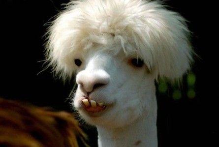 Funny Lama Picture