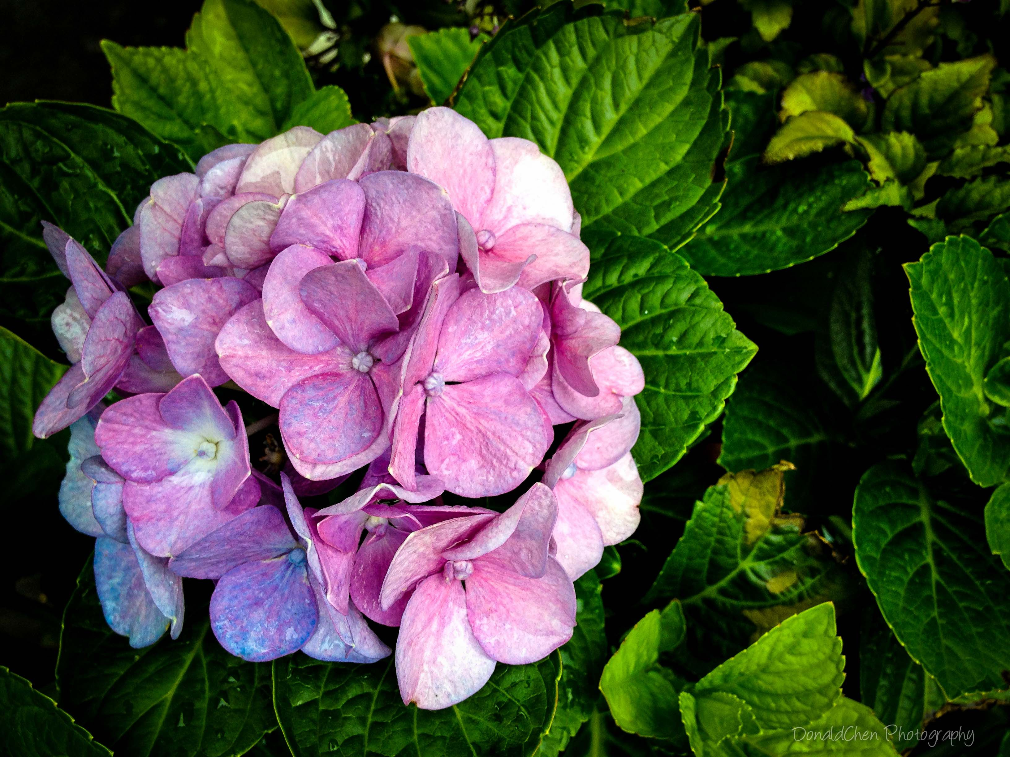 Hydrangea Singapore Flower By Donald Chen Types Of Flowers Flowers Ornamental Plants
