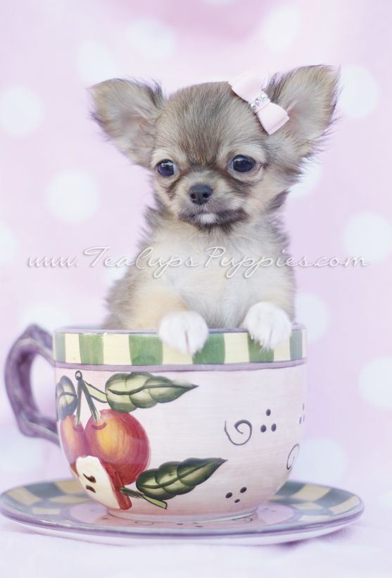 Long Haired Chihuahua In A Tea Cup By Teacupspuppies Com