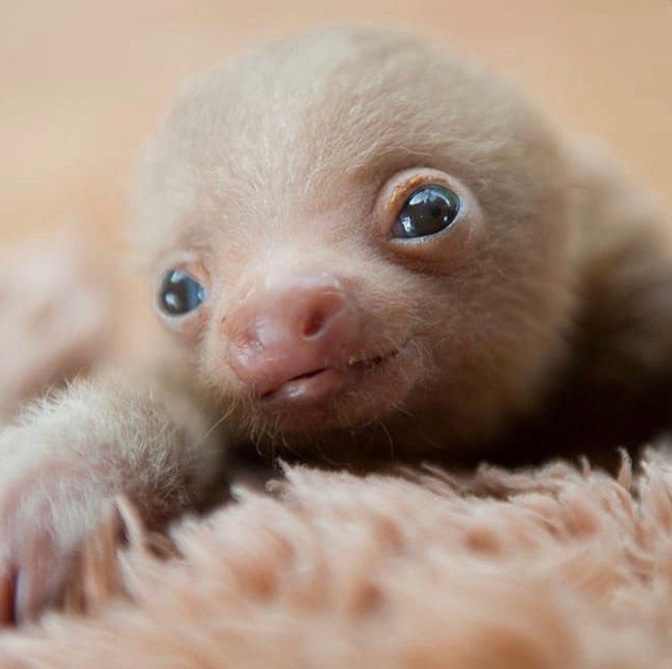Pin By Maureen Singer On Animals Sleepy Sloth Cute Baby Sloths Cute Animals Baby Animals Funny