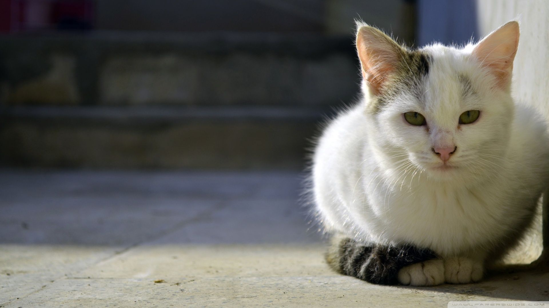 Hd wallpaper cat - Persian Cat Hd Wallpapers Backgrounds Wallpaper