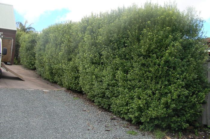 Pittosporum Silver Sheen With Routine Hedge T This Plant Can Be Quite Thick And Full