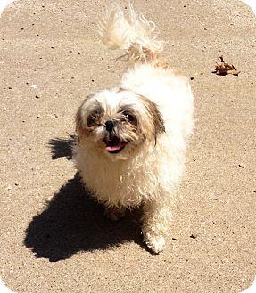Muskegon Mi Shih Tzu Meet Jewel A Dog For Adoption With