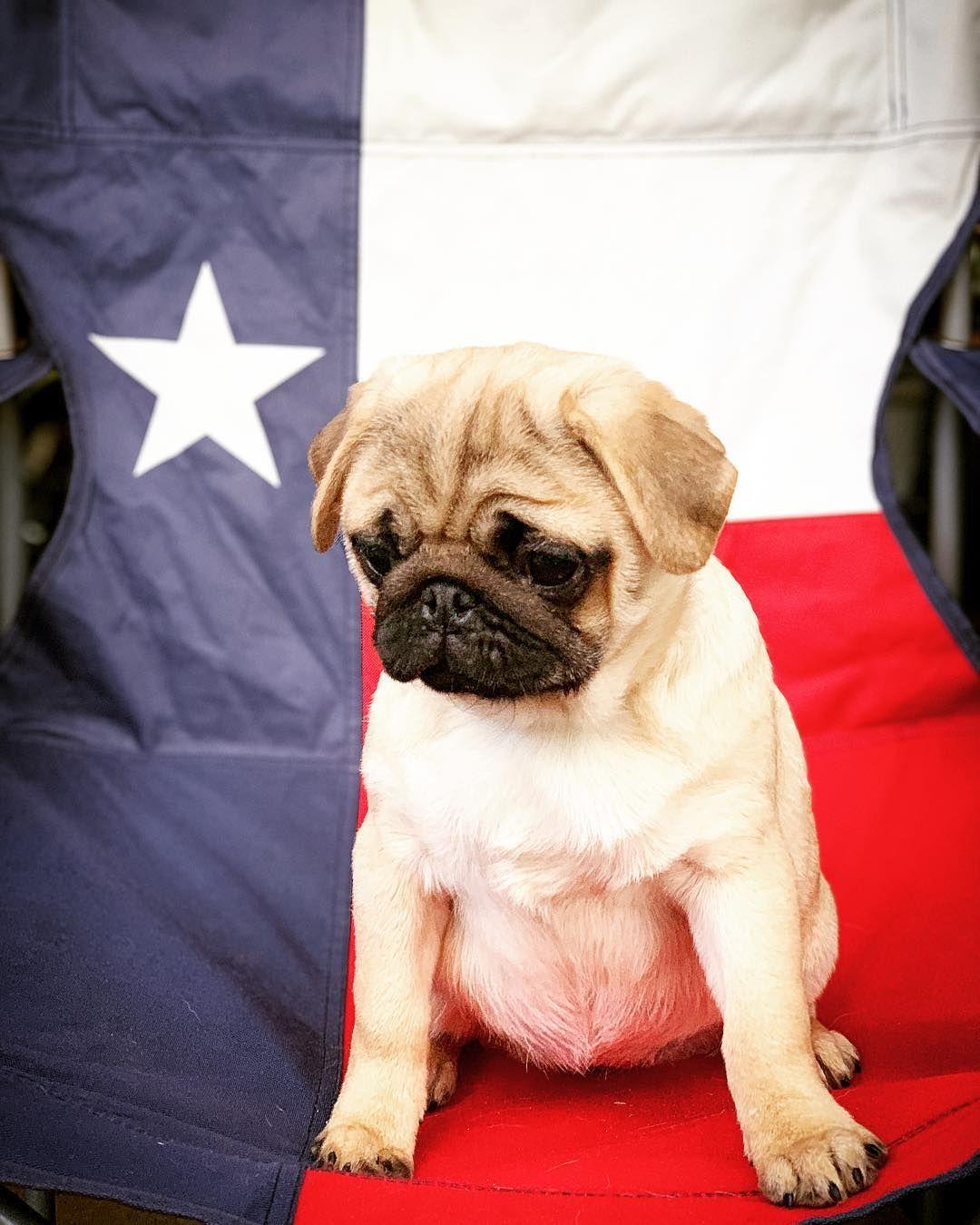 Welcome To Texas Precious Girl Pug Pugs