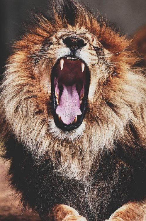 Worksheet. LEON FURIOSO  ANIMALITOS  Pinterest  Len Animales y El rey leon