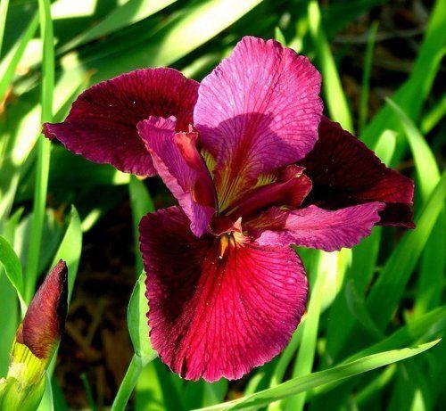 "Bold Pretender Lousiana Iris - Water or Garden Plant - 4"""" Pot"