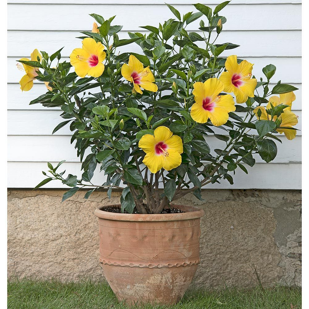 Tropical Hibiscus Hollywood™ Chatty Cathy™ White flower