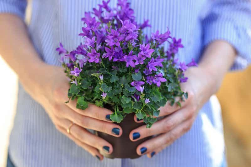 Campanula Dzwonek Odmiany Uprawa Pielegnacja Porady Praktyczne How To Dry Basil Herbs Plants