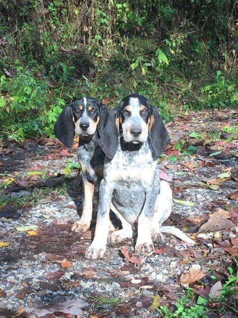 Ukc Forums Ohio Valley Bluetick Kennel Bluetick Coonhound