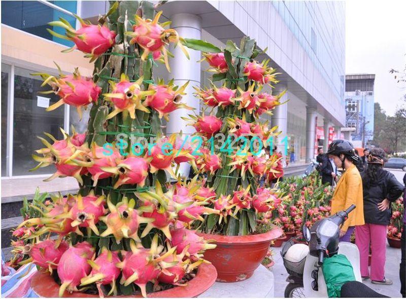 cheap 200 semillas fruta del dragón, pitaya fruta, orgánica de la