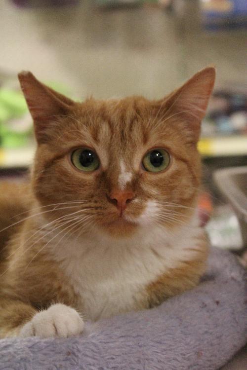 Dog Finder Adopt A Dog Or Cat Near You American Shorthair Cat Cats American Shorthair