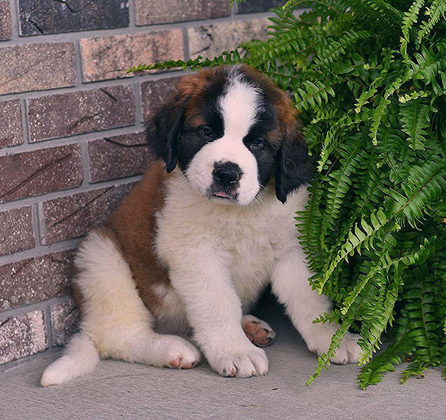 Puppies Saint Bernard