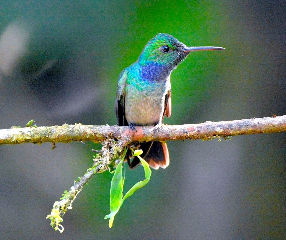 Bluechested Hummingbird, La Union de Guapiles, Costa Rica