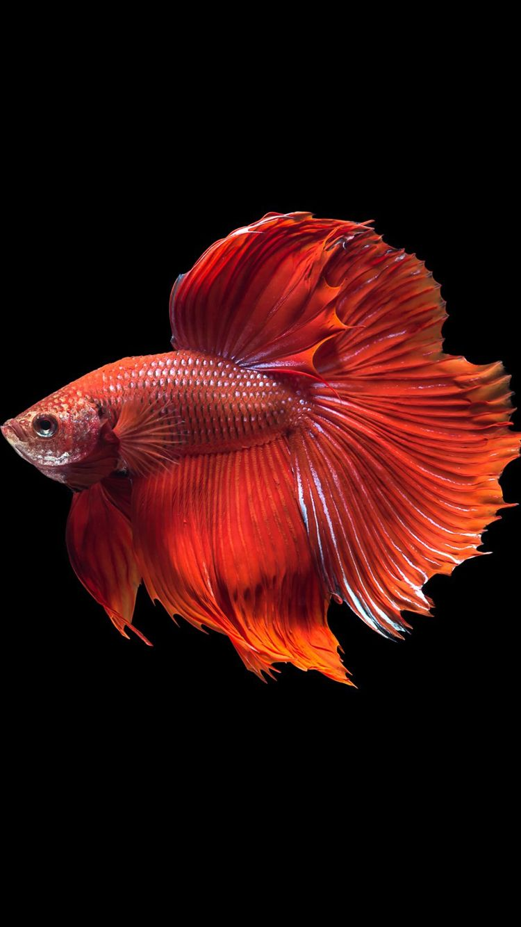 Apple iPhone 6s Wallpaper with Super Red Halfmoon Betta Fish and ...