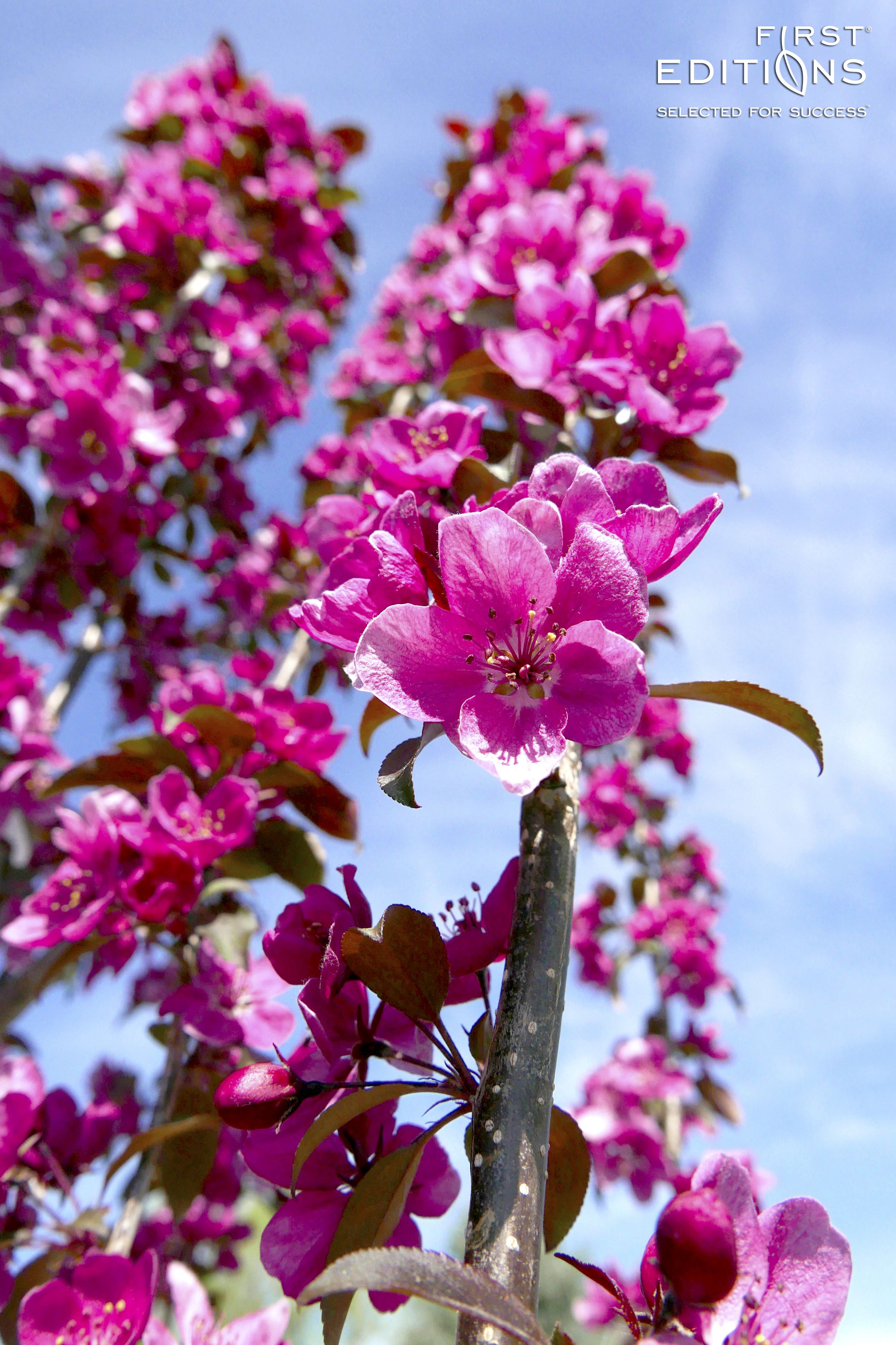 Gladiator is an excellent ornamental crabapple tree that is ideal gladiator is an excellent ornamental crabapple tree that is ideal for small space gardens it has bright pink flowers accented by glossy bronze purple mightylinksfo