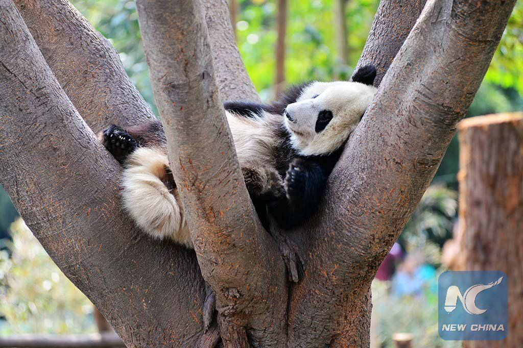 """China Xinhua News on Twitter: """"On a warm spring day, pandas enjoy a lazy afternoon at China's Chengdu Research Base of Giant Panda Breeding https://t.co/DzoxatDqNn"""""""