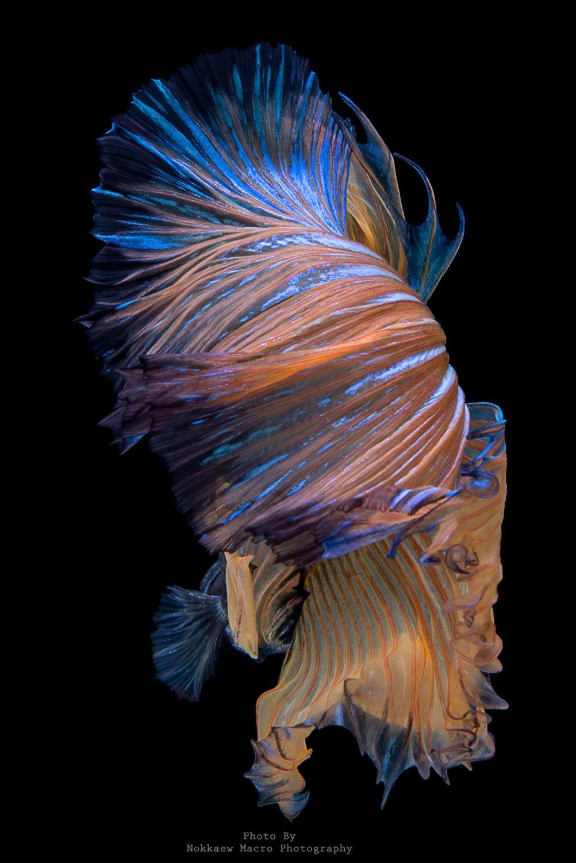 ลีลาของปลากัดสวยงาม Betta fish tank, Exotic fish