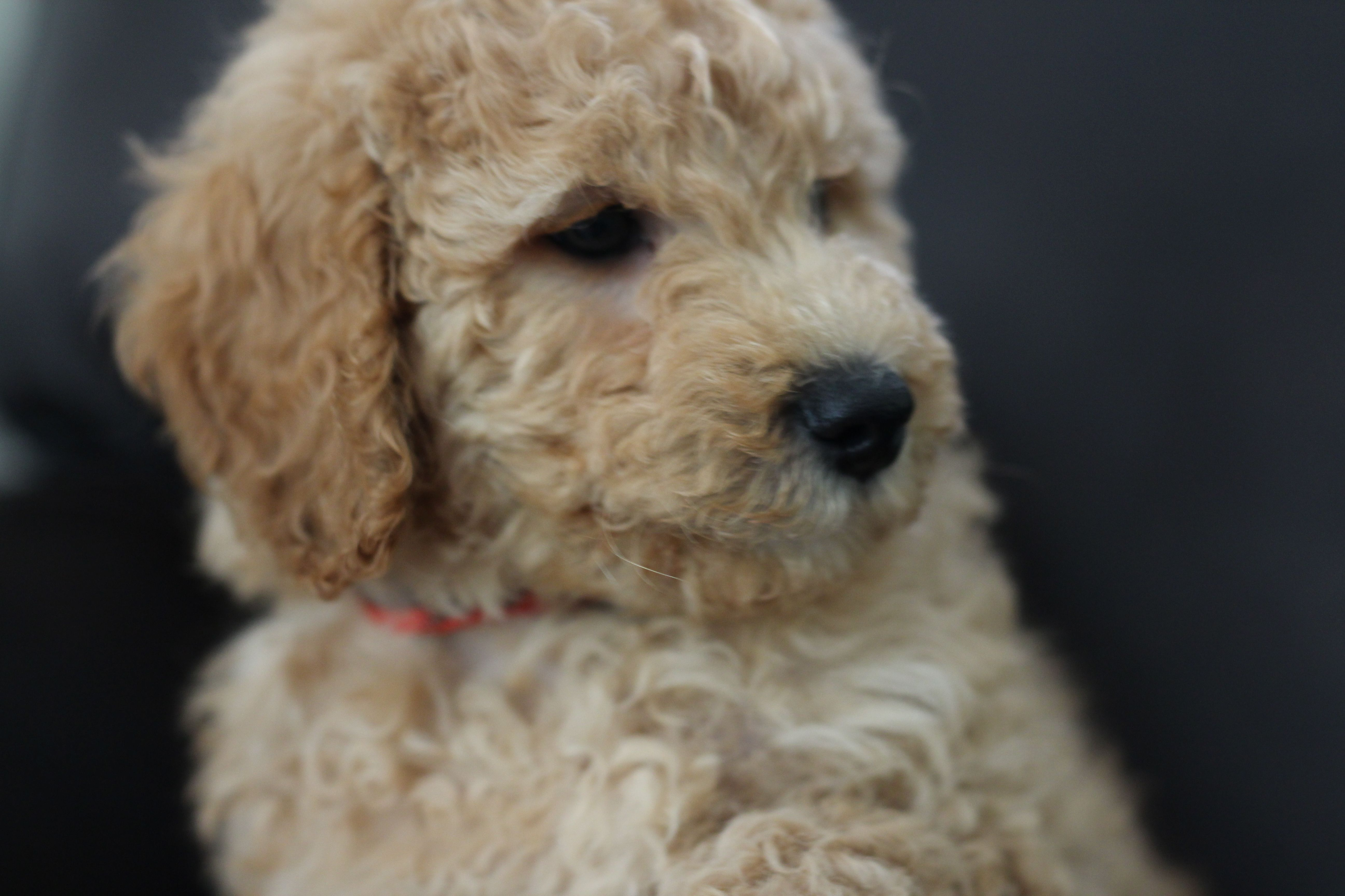 Goldendoodle With Images Goldendoodle Goldendoodle Puppy Puppies