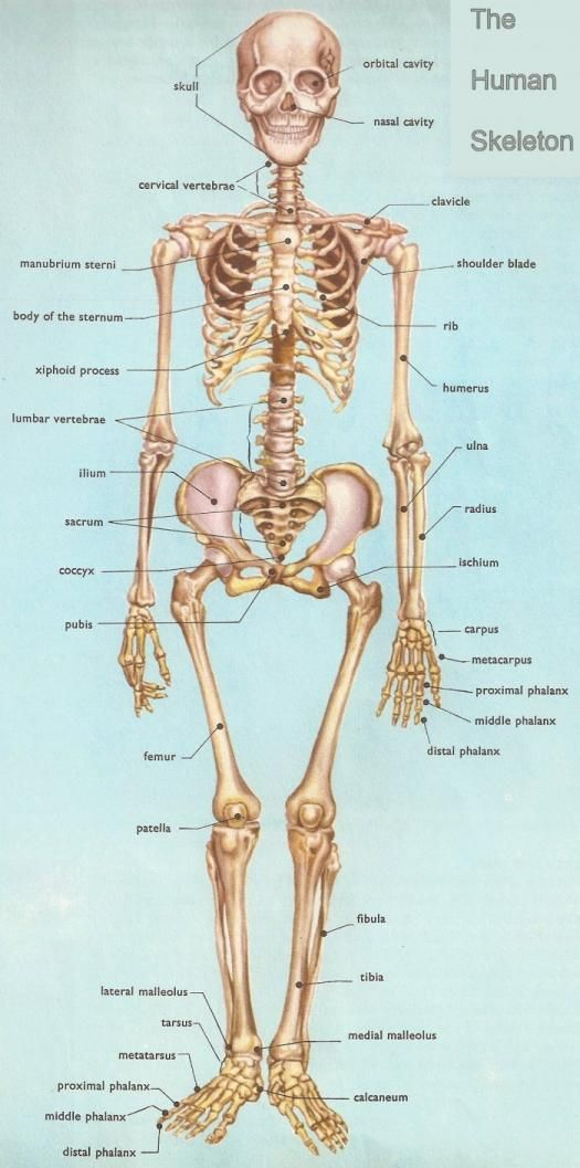 Practice quiz on skeletal system with notes taken and credited to ...
