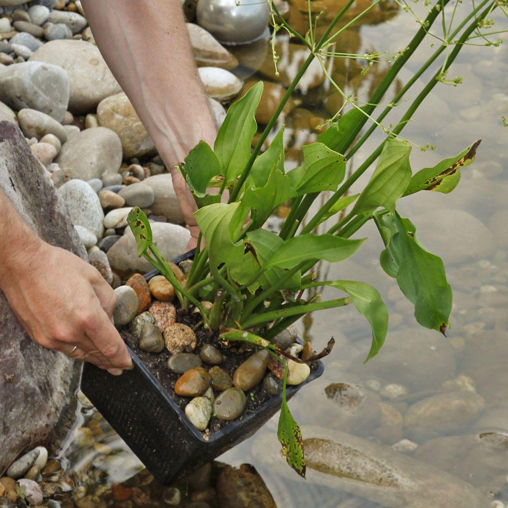 Gewohnlicher Froschloffel Wassergarten Garten Wasser Im Garten