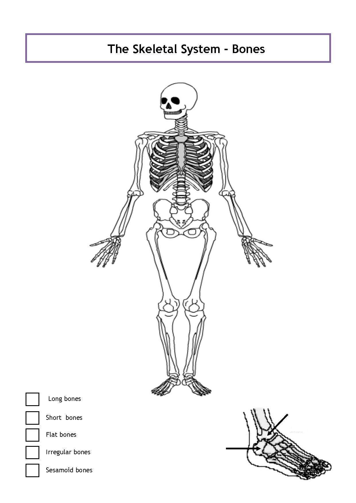 32 Unlabeled Skeletal Diagram - Wiring Diagram List