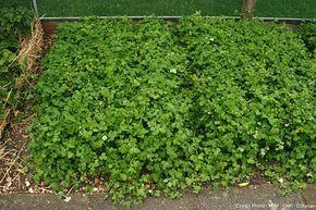 6 techniques imparables pour se d barrasser des mauvaises herbes engrais vert et jardinage. Black Bedroom Furniture Sets. Home Design Ideas