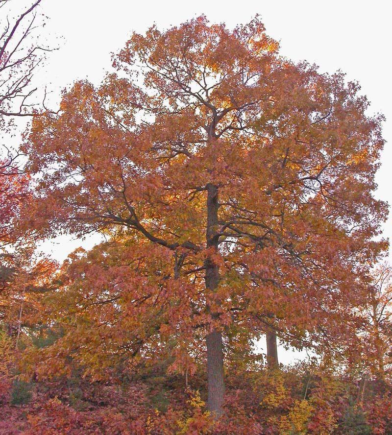 White Oak Maryland: Black Oak Tree - Google Search