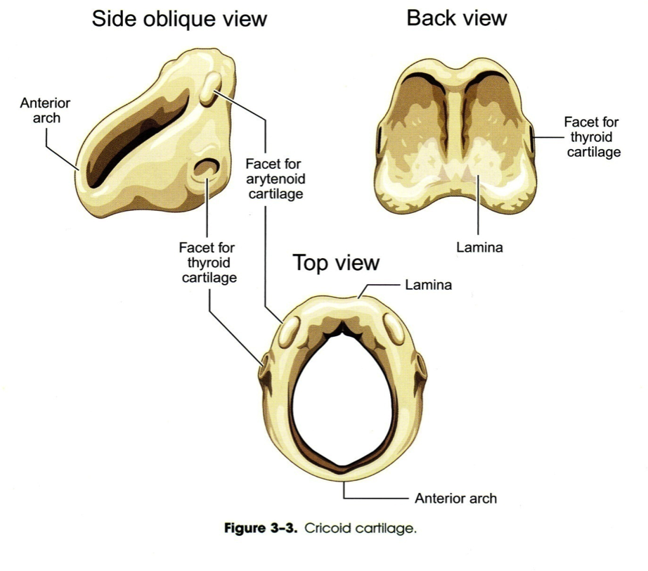Cricoid Cartilage | Images for voice | Pinterest | Anatomy