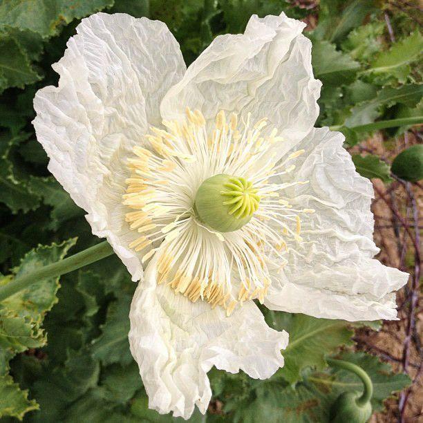 Organic Peshawar Poppy