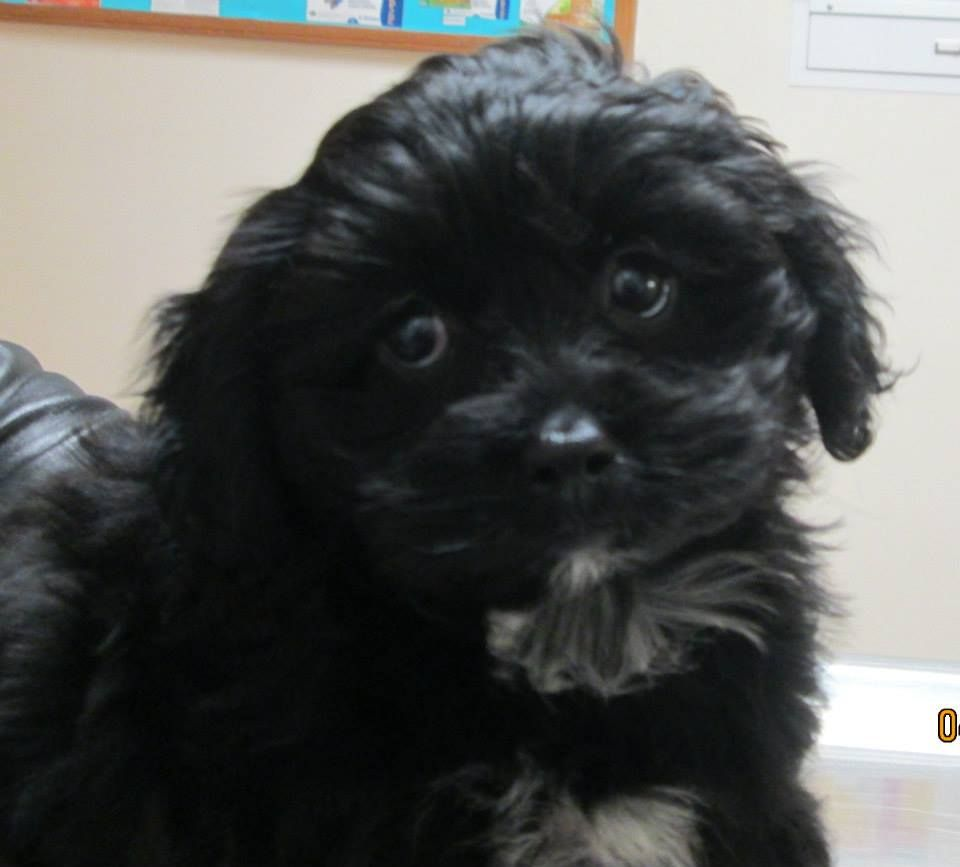 Shichon puppies for sale in kentucky - My Puppy Charlie Charlotte 9 1 2 Wks Old She S A Shichon