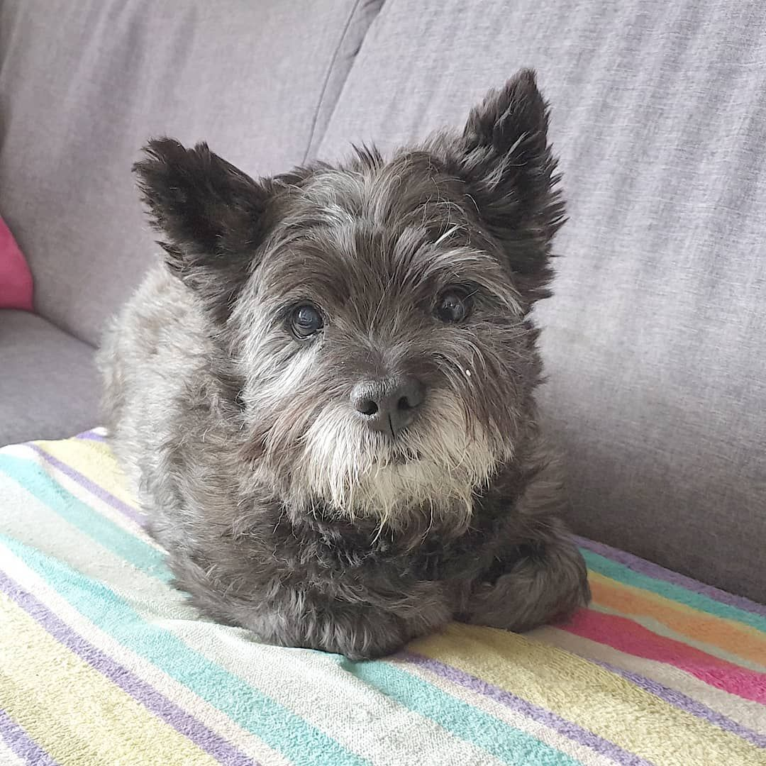 Pin By Martha Watson On Cairn Crazy In 2020 Cairn Terrier