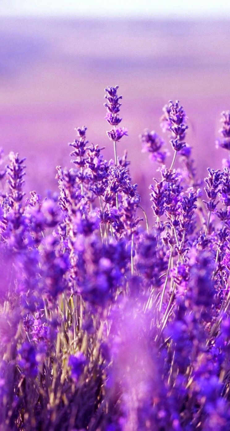 Обои wallpaper iPhone lavender | Обои iPhone wallpapers