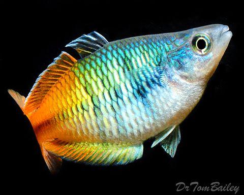 Boesemani Rainbowfish At Aquariumfish Net Aquarium Fish Aquarium Fish For Sale Rainbow Fish