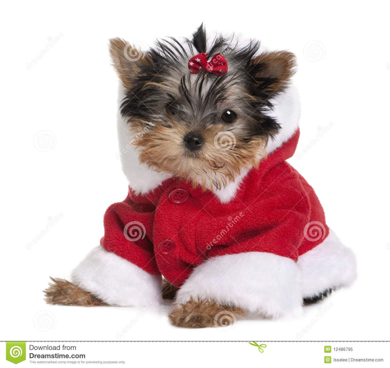 Puppy Yorkshire Terrier, dressed in Santa coat Yorkie