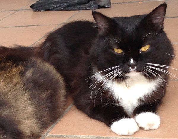 Name Fatty Breed Mixed Breed Long Fur Colour Black White Tuxedo Gender Male Age 1 5 Yrs Old Size Long 50 Age Spot Removal Black And White Black Spot