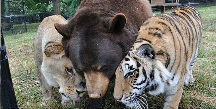 Salvati da maltrattamenti, un leone, un orso e una tigre sono inseparabili da più di 15 anni