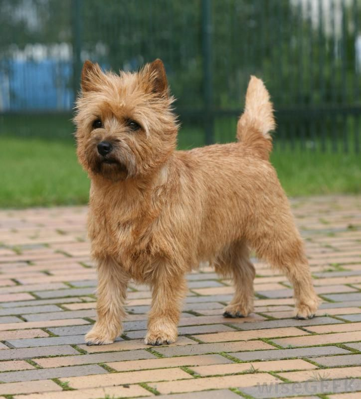 The Cairn Terrier Is One Of The Oldest Terriers With Ancestry In