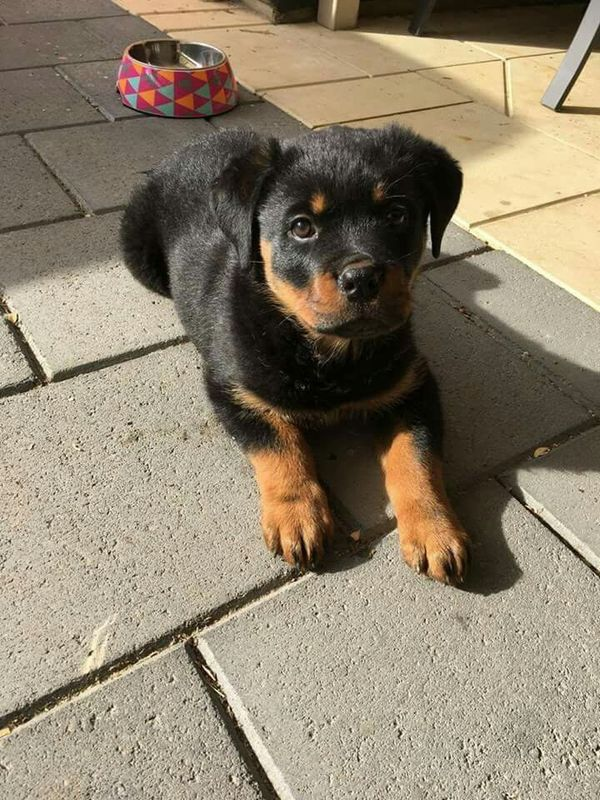 Pin By Dezy On Puppers And Doggos Rottweiler Puppies
