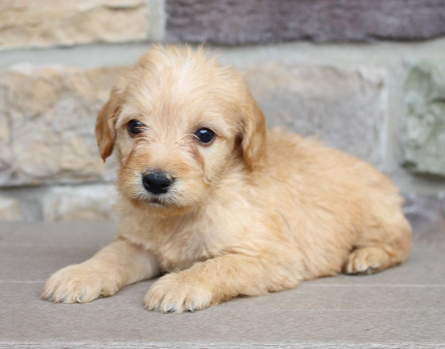 Meet Logan Labradoodles Pups For Sale Near Fort Wayne Indiana Find Cute Labradoodle Puppies Dogs And Breeders At Vip Puppies For Sale Puppies Labradoodle
