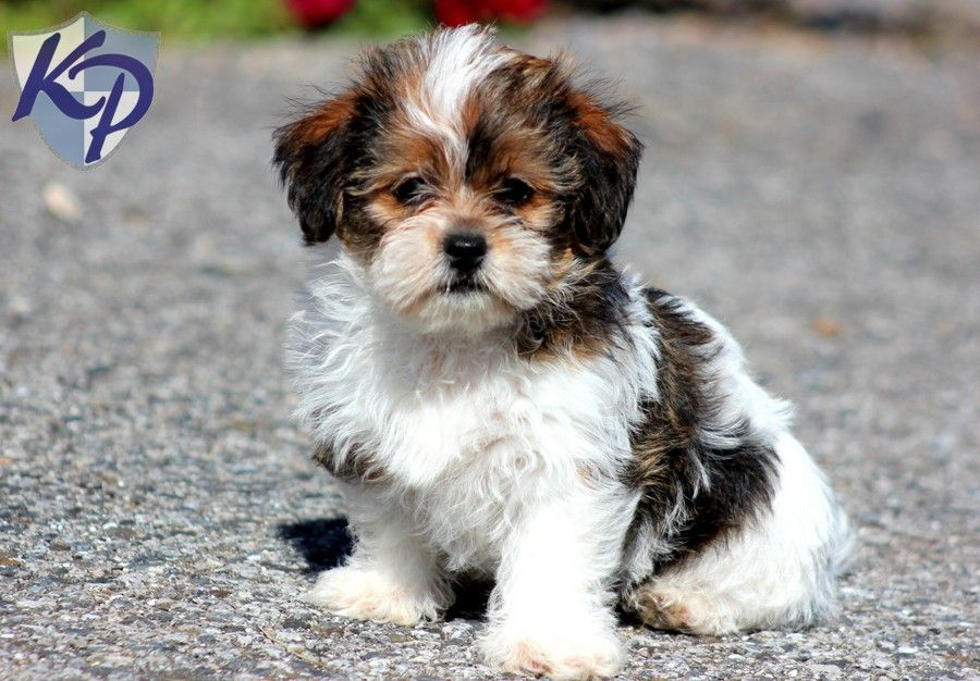 Nina Shorkie Puppies for Sale in PA Keystone Puppies